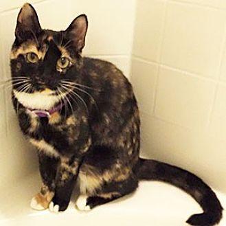 Calico Cat for adoption in Garner, North Carolina - Caroline