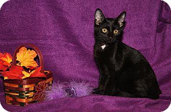 Domestic Shorthair Cat for adoption in Marietta, Ohio - Jordan (Spayed)