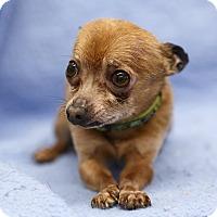 Adopt A Pet :: PeeWee - Ile-Perrot, QC