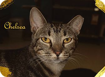 Domestic Shorthair Cat for adoption in Converse, Texas - Chelsea