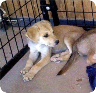 Labrador Retriever Mix Puppy for adoption in Gilbert, Arizona - CLARABELLE