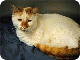 Domestic Shorthair Cat for adoption in Kensington, Maryland - Rudy