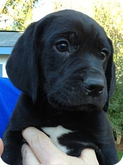 Beagle/Labrador Retriever Mix Puppy for adoption in Richmond, Virginia - Jethro