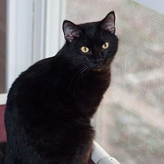 Domestic Shorthair Cat for adoption in New Martinsville, West Virginia - Jacki