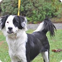 Adopt A Pet :: Kira - Tumwater, WA