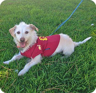 Westie, West Highland White Terrier/Corgi Mix Dog for adoption in Burbank, California - Adorable Max-VIDEO
