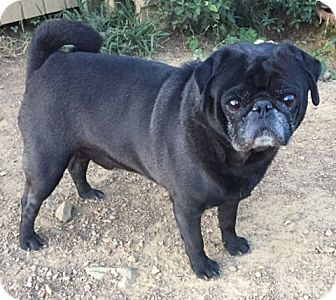 Pug Dog for adoption in Irmo, South Carolina - Benjamin