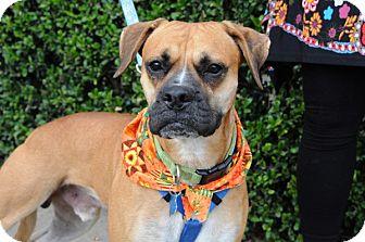 Boxer Mix Dog for adoption in Houston, Texas - Liam