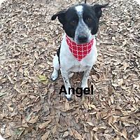 Adopt A Pet :: Angel - Manchester, CT
