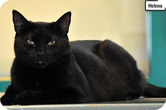 Domestic Shorthair Cat for adoption in Lakewood, Colorado - Helena