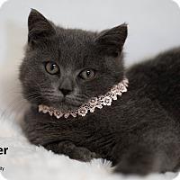 Adopt A Pet :: Scamper - Brockton, MA
