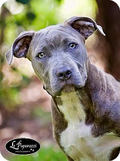 American Staffordshire Terrier/American Pit Bull Terrier Mix Puppy for adoption in Orlando, Florida - Bri