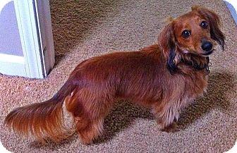 Dachshund Dog for adoption in San Jose, California - Oscar