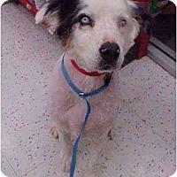 Adopt A Pet :: Cowboy - Mesa, AZ