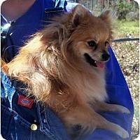 Adopt A Pet :: Ginger - Sand Springs, OK