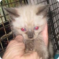 Adopt A Pet :: Cocoa Puff - Dallas, TX