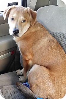 Labrador Retriever Mix Dog for adoption in Snyder, Texas - Rico