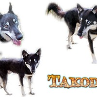 Adopt A Pet :: Takoda - Seminole, FL