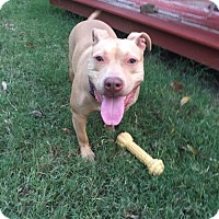 American Staffordshire Terrier Mix Dog for adoption in Dallas, Texas - zzMarty