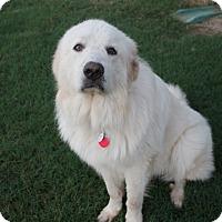 Adopt A Pet :: Tundra  *Adopted - Tulsa, OK