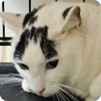 Domestic Shorthair Cat for adoption in Medford, Massachusetts - Meso