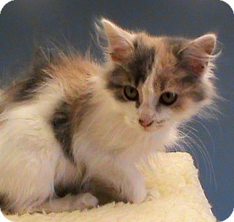 Domestic Longhair Kitten for adoption in Maynardville, Tennessee - Sapphire