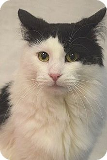 Domestic Longhair Cat for adoption in Hillside, Illinois - Seymour-LONG-HAIRED, FRIENDLY!
