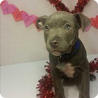 Adopt A Pet :: Popper-Adopted! - Detroit, MI