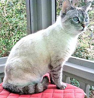Siamese Cat for adoption in Youngsville, North Carolina - Chai