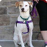 Pointer/Shepherd (Unknown Type) Mix Dog for adoption in Dallas, Texas - Amber Atkins
