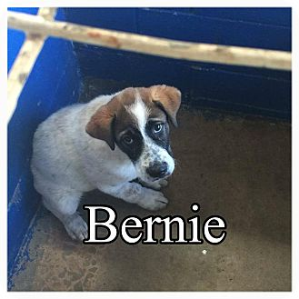 Anatolian Shepherd Mix Puppy for adoption in Comanche, Texas - Bernie