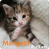 Adopt A Pet :: Marigold - Tega Cay, SC