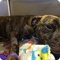 Adopt A Pet :: Bryan - New York, NY