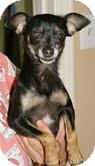 Chihuahua Dog for adoption in Conway, Arkansas - Sassy