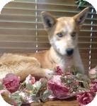 Husky Mix Dog for adoption in Manchester, Connecticut - Cheyenne ADOPTION PENDING