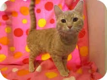 Domestic Shorthair Cat for adoption in Arlington, Virginia - Rambo (luvs bellyrubs)