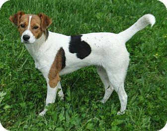 Beagle terrier mix images
