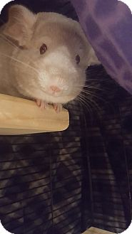 Chinchilla for adoption in Patchogue, New York - Elsa