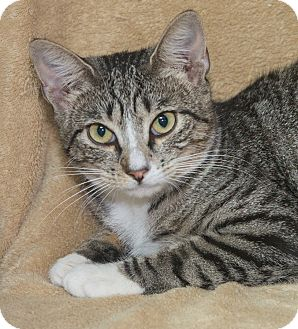 Domestic Shorthair Cat for adoption in Elmwood Park, New Jersey - Amber