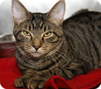 Domestic Shorthair Cat for adoption in Marietta, Ohio - Eddie (Neutered)