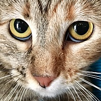 Domestic Shorthair Cat for adoption in Oakdale, California - Precious