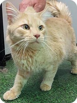 Maine Coon Cat for adoption in Gilbert, Arizona - Bubba