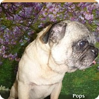 Adopt A Pet :: Pops - Las Vegas, NV
