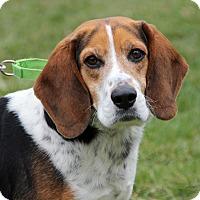 Adopt A Pet :: Buddy - Harrison, NY