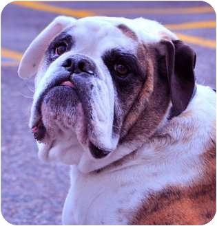 English Bulldog Dog for adoption in Gilbert, Arizona - Doug*adoption pending*