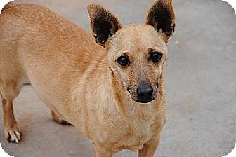 Terrier (Unknown Type, Medium)/Dachshund Mix Dog for adoption in Apple Valley, California - Odie