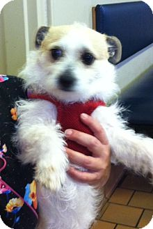Jack Russell Terrier Dog for adoption in Boulder, Colorado - Rocky