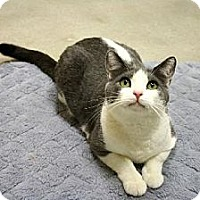 Domestic Shorthair Cat for adoption in Westlake Village, California - Gracie