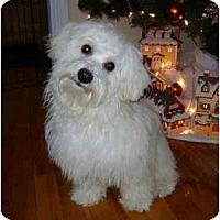 Adopt A Pet :: Benji - Rigaud, QC