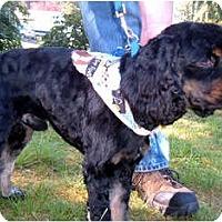 Adopt A Pet :: Joe Cocker - Tacoma, WA